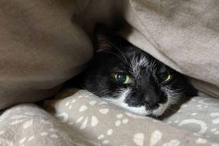 Sick cat hiding under blanket