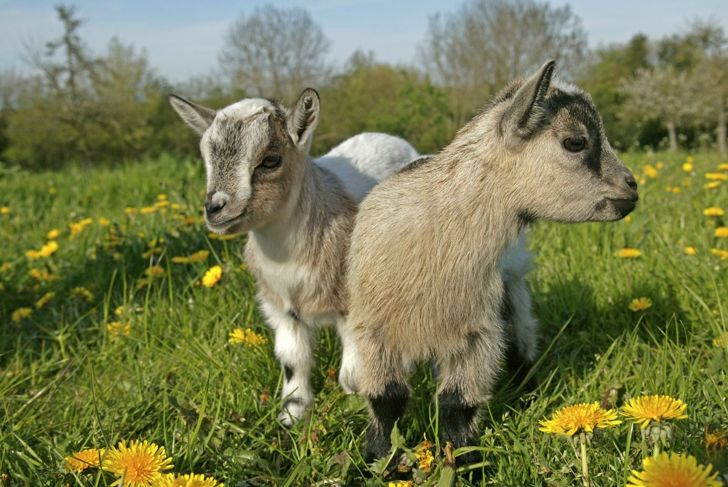 baby goats, health, personality, behavior