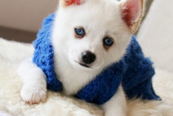 A blue-eyed pomsky.