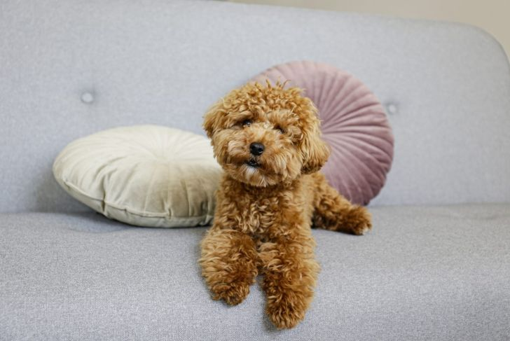 A fluffy Maltipoo lounges on a couch.