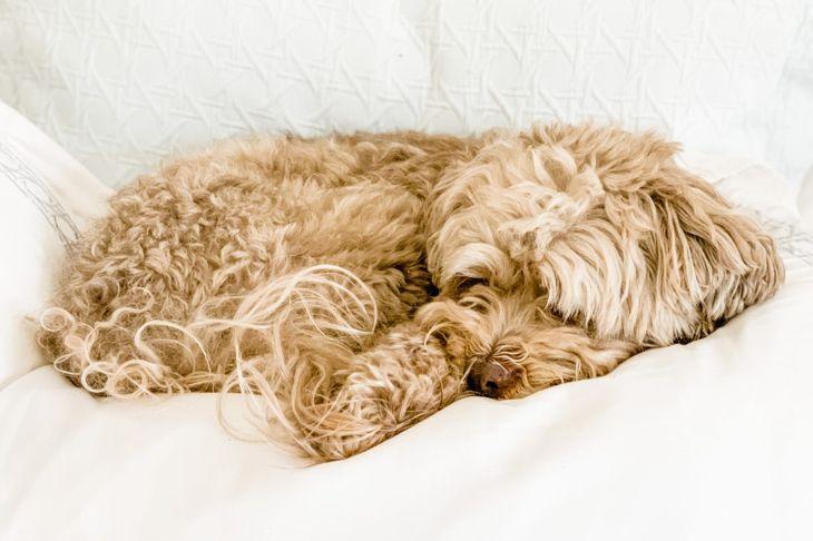 cockerpoo puppy asleep on bed