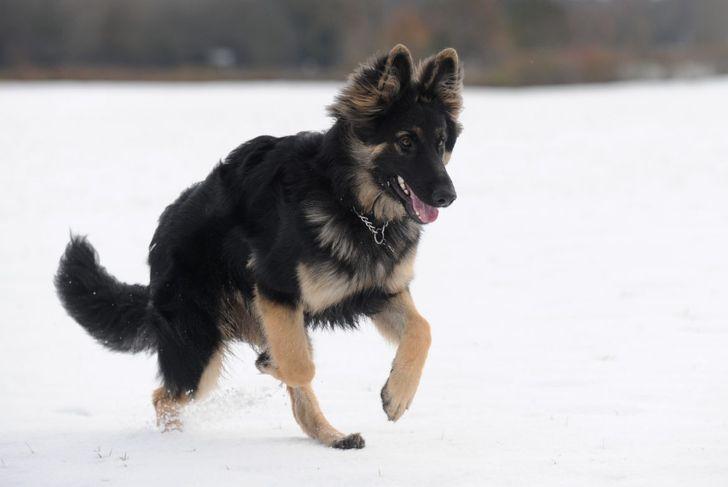 King shepherd running in the snow