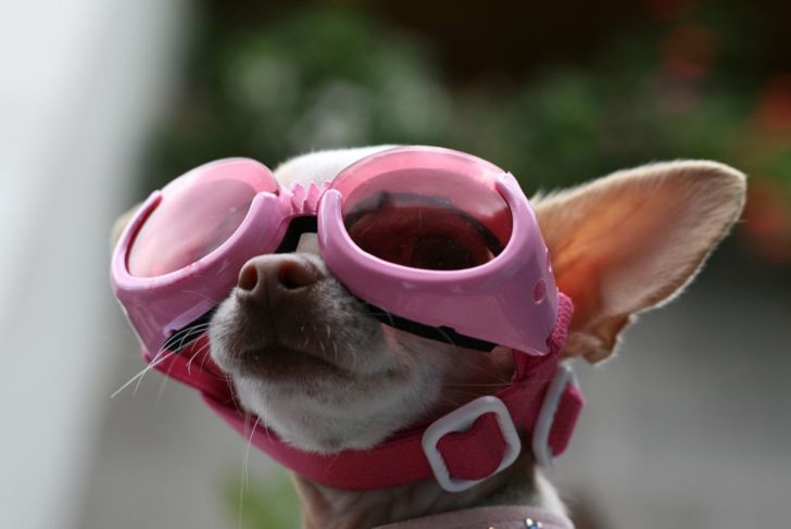 Dog with googles to protect against dust