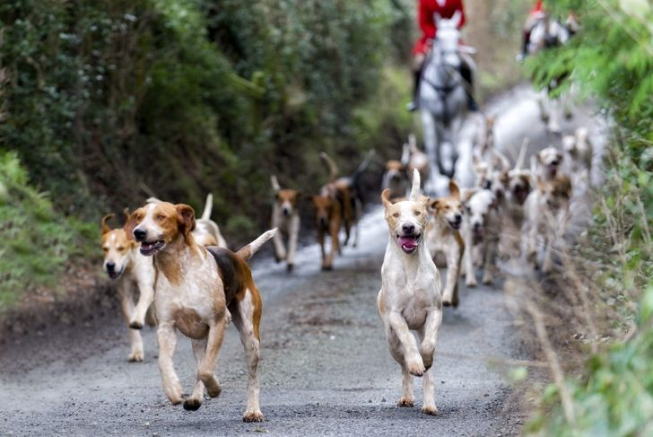 foxhounds hunting pack