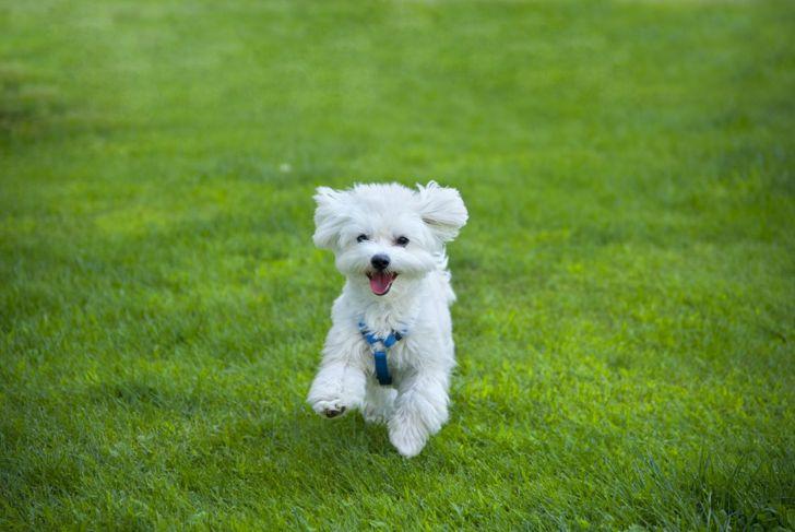maltese dog short hair running