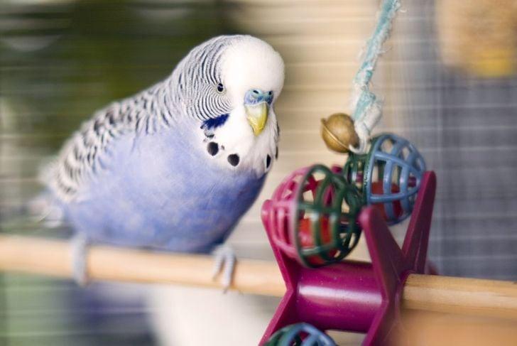 toys parakeet appearance
