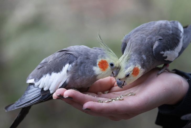 Give your cockatiel a mix of seed and fruit for best results.