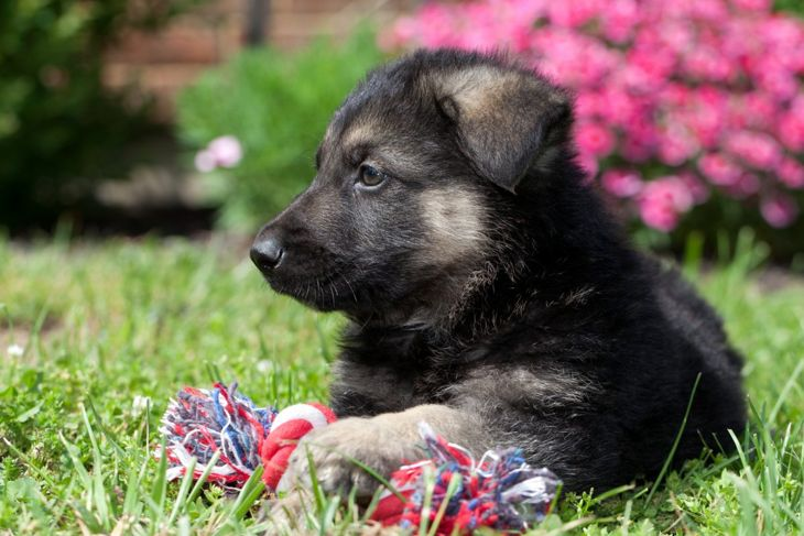 Shepherd puppy with toy