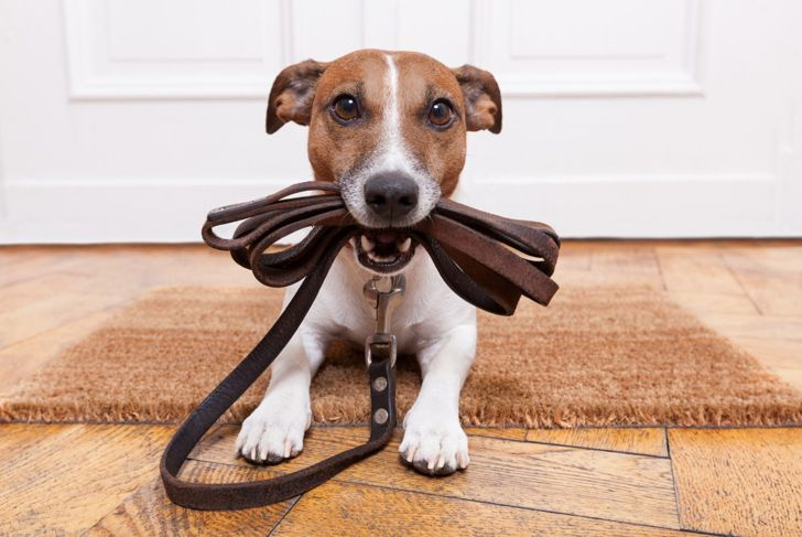 Jack Russell terriers love going on walks