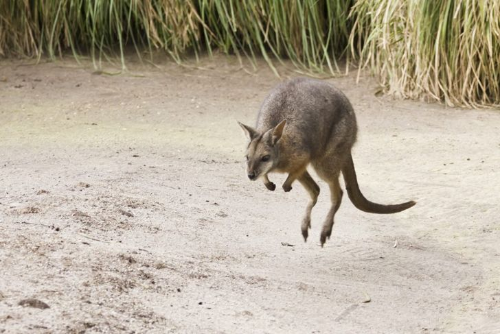 Wallaby jumping