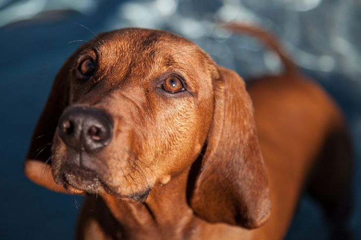 Redbone coonhound looking up