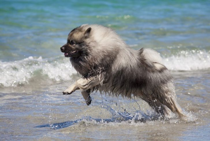 adult keeshond adaptable exercise beach
