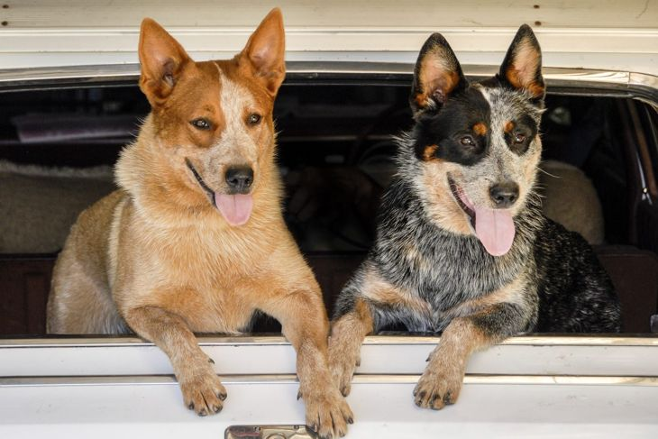 Two Happy Australian Cattle Dogs at Car Window
