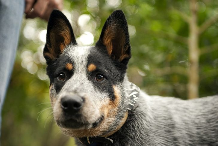 independent thinking job blue heeler