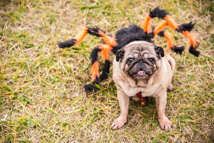 Dog in spider Halloween costume