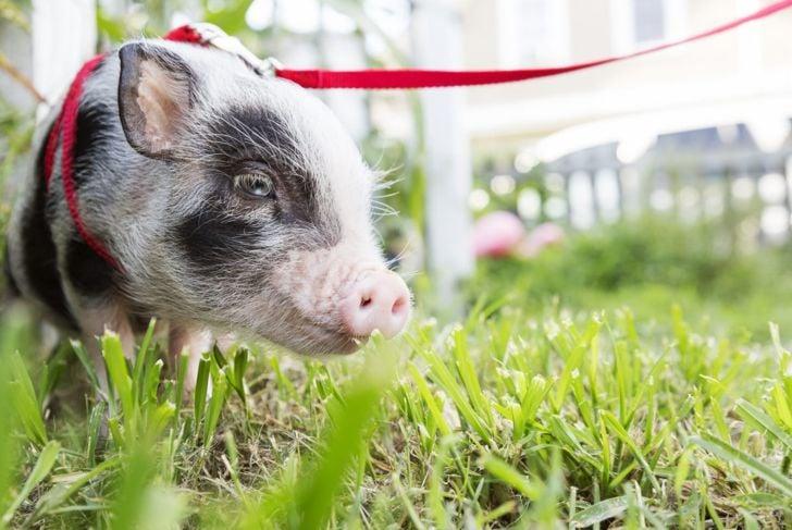 Pet pig walking on a leash