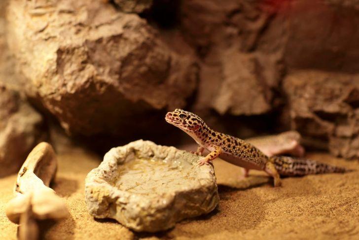 A leopard gecko in a clean tank.