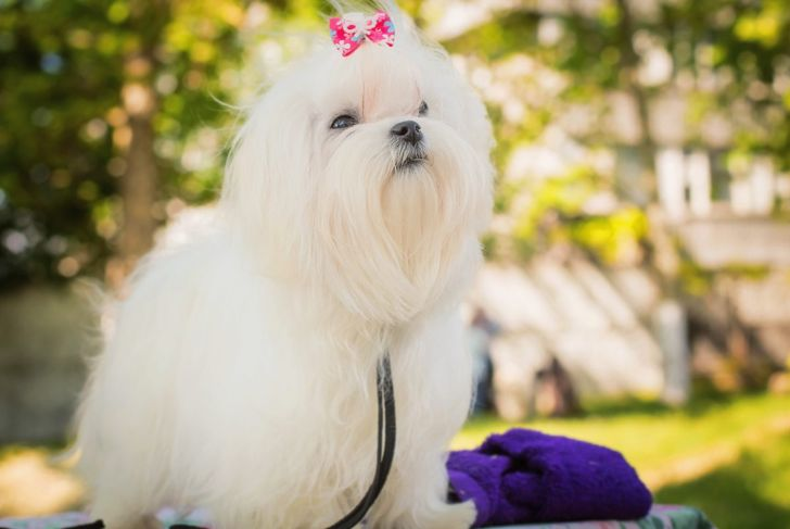 maltese with long hair and bow