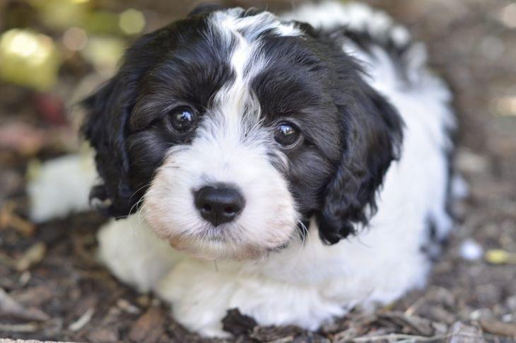 A cavapoo puppy.