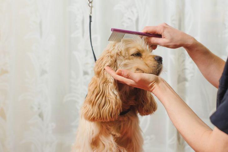 Regular grooming is important for a cocker's coat