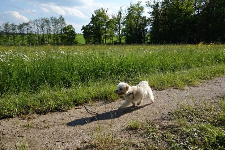 This Maltipoo is enjoying a walk with a stick in his mouth.