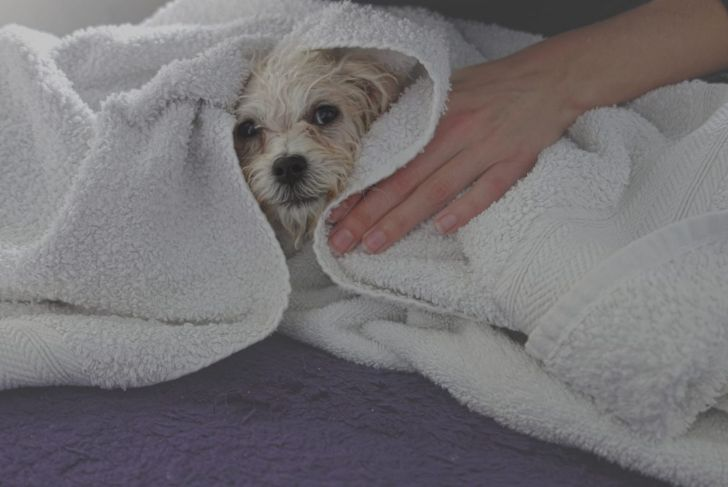 A small Maltipoo gets dried in a towel after a bath.