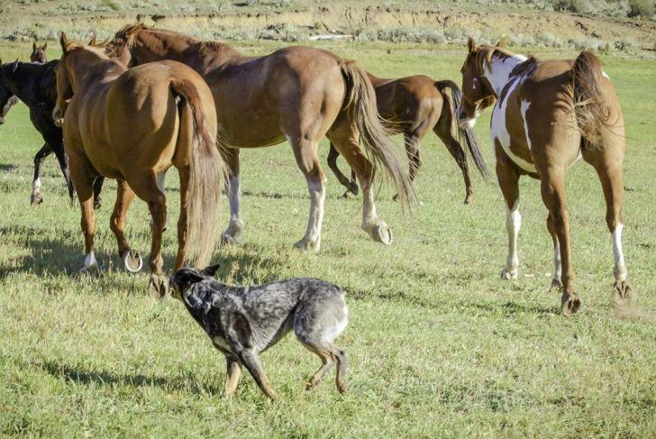 heeler cattle dingo herding