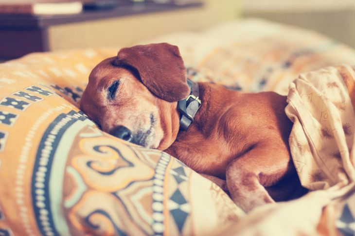 sleeping dachshund dog
