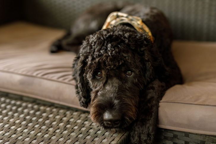 A freshly groomed Australian Labradoodle ready for their afternoon nap.