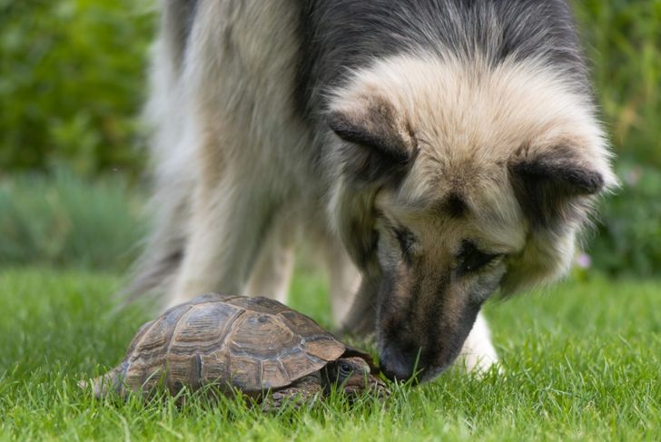 Shepherd with a tortoise