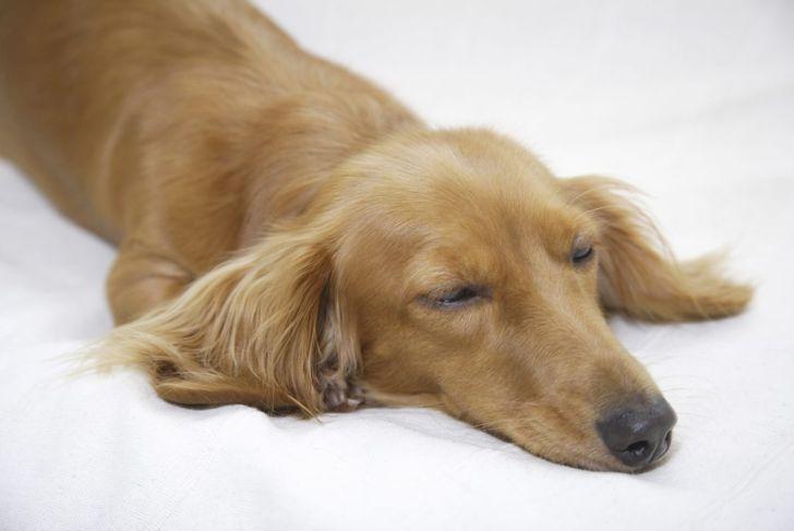 dachshund dog lying on bed