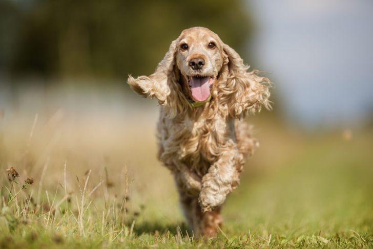 Cocker spaniels love to run