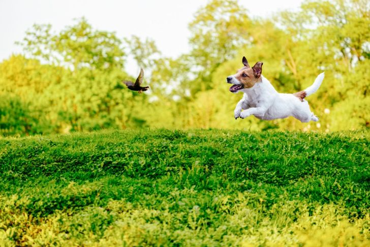 Jack Russell terriers love chasing small animals