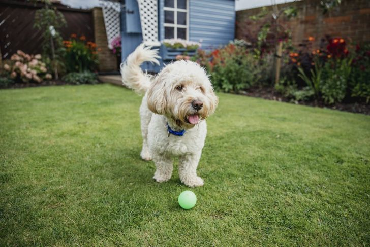 cockapoo playing in yard with ball