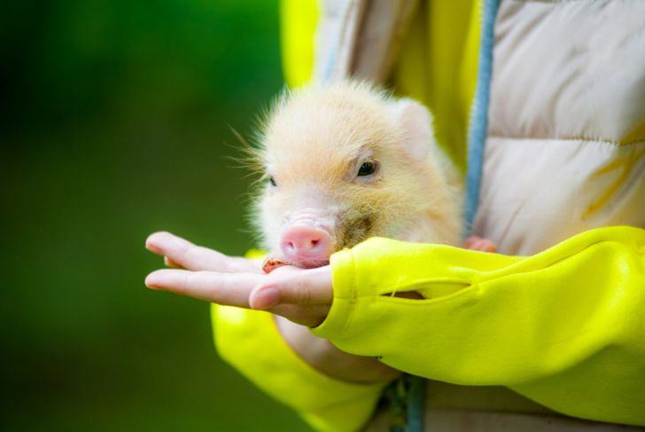 teacup pig in owners hands