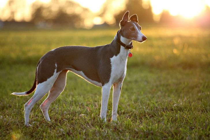 sighthound keen eyesight whippet