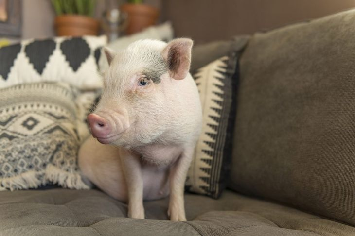 teacup pig sitting on a grey couch