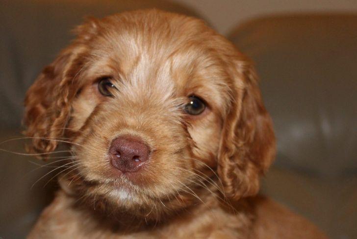 cockapoo puppy small dog