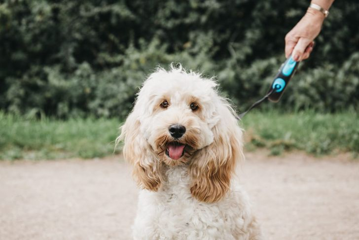 cockapoo on a leash changing color fur