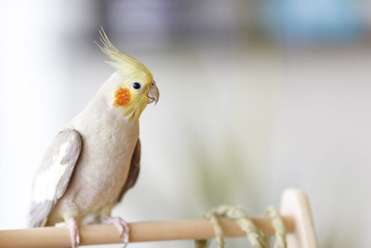 Some cockatiels live to be over 30 years old.