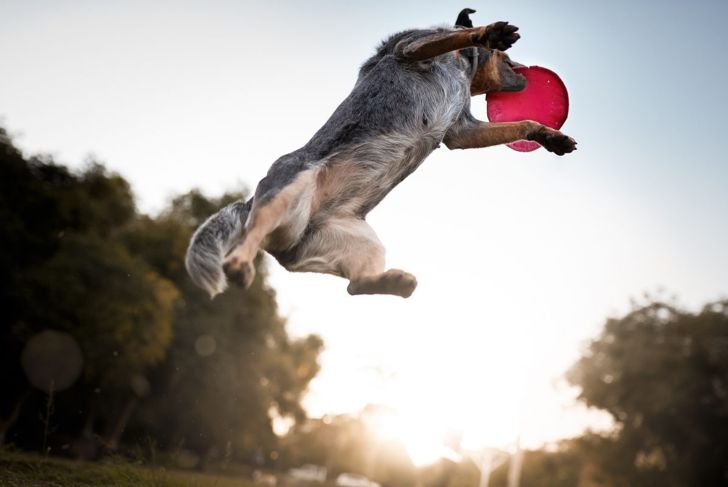 Australian cattle dog catching frisbee disc