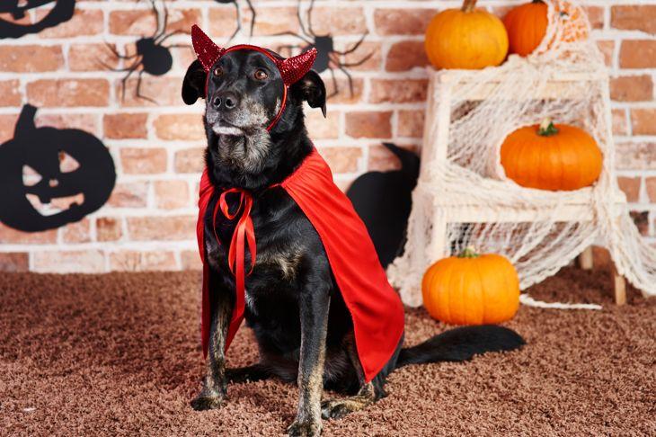 Black dog in devil Halloween costume