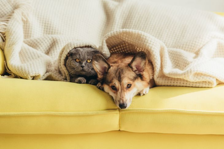 scottish fold cat and welsh corgi dog lying under blanket together on sofa