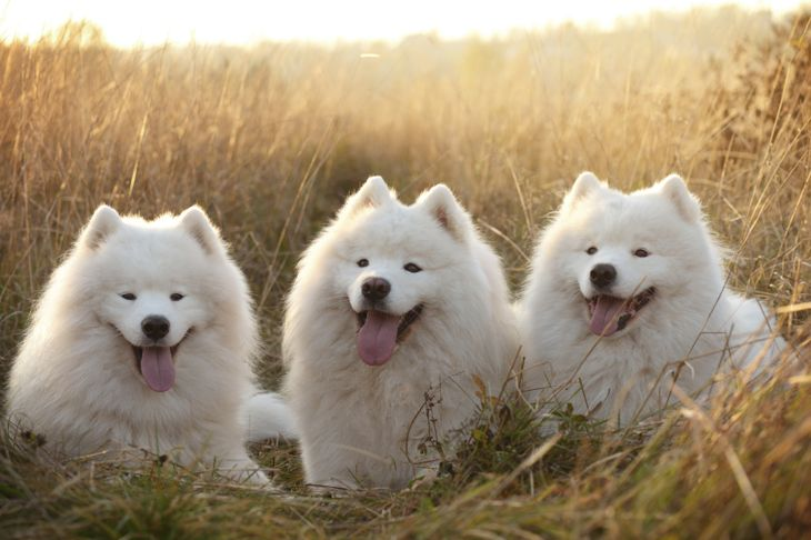 Three Samoyed dogs in a field