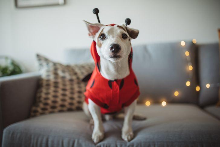 Little dog wearing ladybug Halloween costume