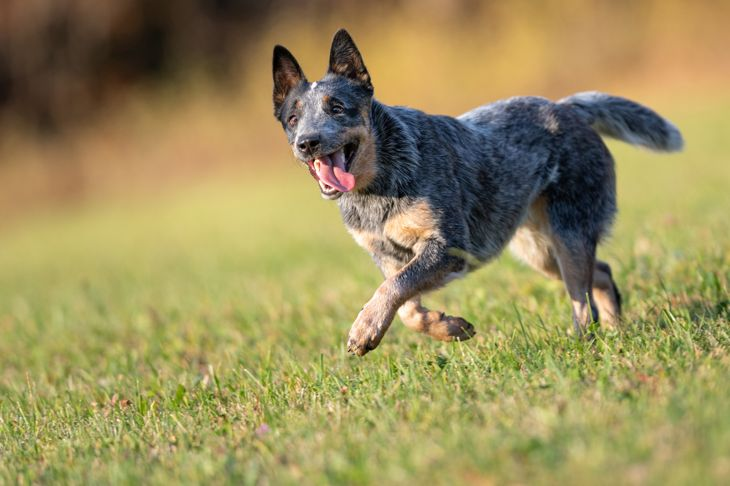 Australian Cattle Dog in an attentive Pose at sunset on a meadow. Nikon D850. Converted from RAW.