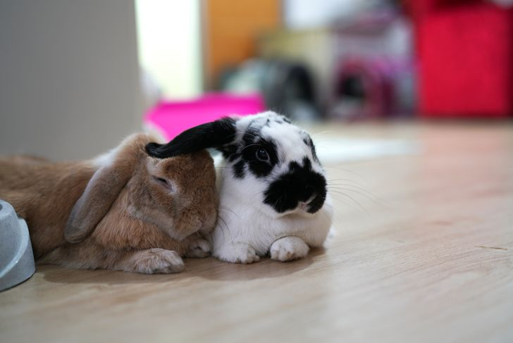 Holland lop rabbit bunny brown and black and white color action and looking camera