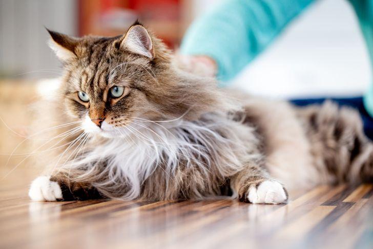 Siberian Cat Relaxing on the Floor Indoors.