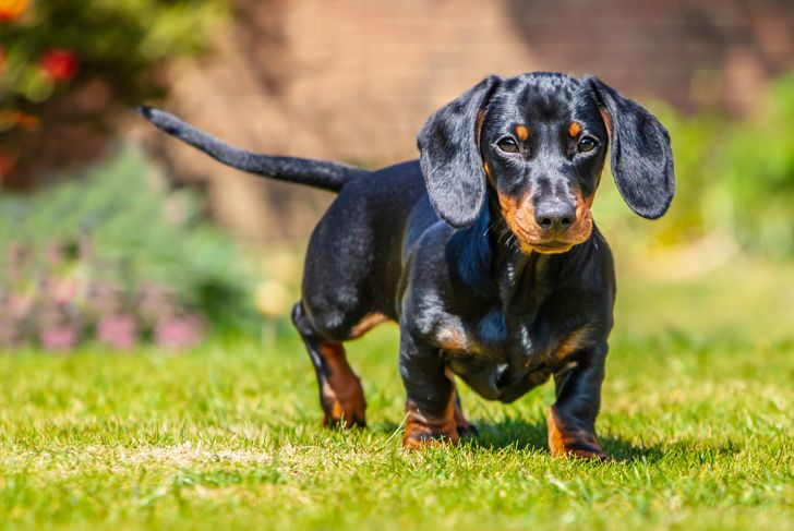 Portrait of a short haired black and tan miniature Dachshund puppy standing looking at the camera on grass seen at eye level with his ears forward outside on a sunny day.