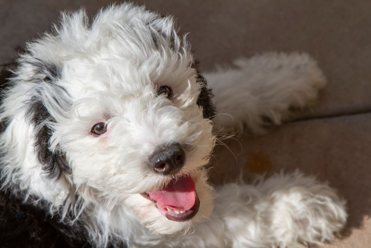 A Sheepadoodle puppy that is a mix from a sheepdog and a poodle.